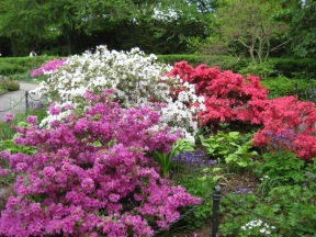 Stunning azaleas